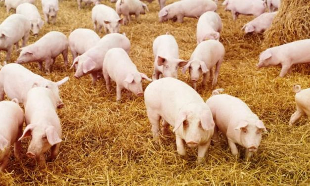 Proiect: porcii nu mai pot fi hraniți cu resturi alimentare, îngrijitorii sa se dezinfecteze
